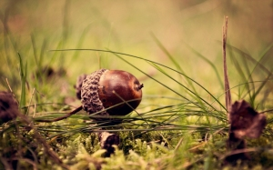 The-acorn
