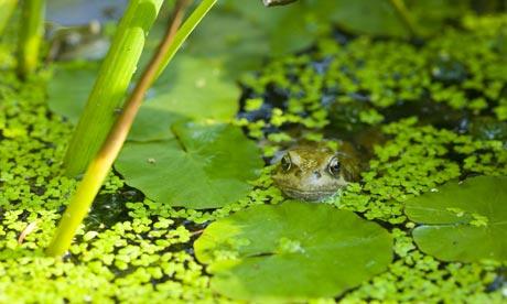 A-frog-in-garden-pond-001